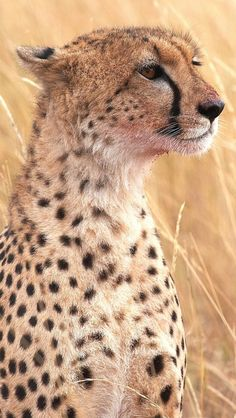 Cheetah Background For Iphone