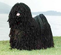 Really soon I will have my puli again :)