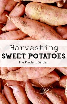 It's sweet potato harvest time! Follow these tips to make harvesting and curing sweet potatoes easy and ensure the best flavor from your crop.