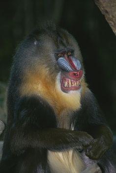 Mandrill Monkey, Magnificent Beasts, Ape Monkey, Underwater Creatures, Primates, Photo Reference, Farm Animals, Animal Kingdom, Fine Art America