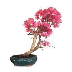 Acheter votre Bonsai Intérieur Bougainvillier 65 cm, Sankaly Bonsaï, Spécialiste de la Vente de Bonsaï en Ligne