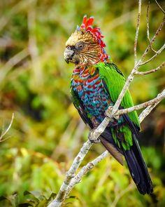 ⠀ Deroptyus accipitrinus ⠀ Red-fan Parrot ⠀ Anacã ⠀ Manaus/AM - Brazil⠀⠀ ____________________________ ⠀ ⠀ ⠀ ⠀ ⠀ ⠀ ⠀ ⠀ ☀️☀️☀️☀️☀️☀️☀️☀️☀️☀️… Pretty Birds, Love Birds, Beautiful Birds, Animals Beautiful, Exotic Birds, Colorful Birds, Exotic Pets, Nature Animals, Animals And Pets