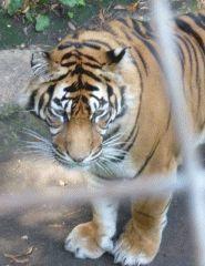 A tiger in its enclosure