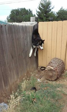 Huskies doin' whatever they want since always. It's a Husky Thing.