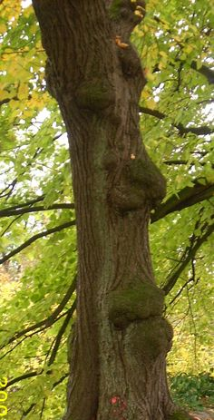face in the tree. in Soest Germany