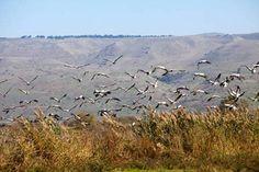 O 3º Festival Internacional de Pássaros no Vale de Hula (Hula Valley) acontece entre 10 e 17 novembro em Israel.