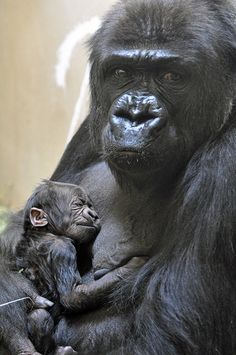 Cheyenne Mountain Zoo in Colorado Springs announced the birth of a beautiful new baby western lowland gorilla, whose gender has yet to be determined, who...