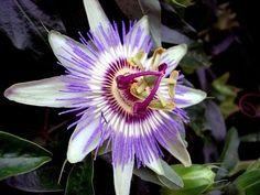 Flor de la Pasión para mejorar la calidad del sueño