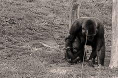 #charentemaritime #zoo #lapalmyre #singe #chimpanzee