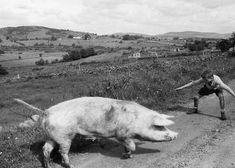 Brian Seed - Boy with Wayward Pig, Ulster, Ireland