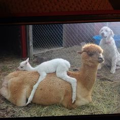 42 Llamas and Alpacas That Shouldn't Be This Cute - Alpacas, Cute Funny Animals, Cute Baby Animals, Animals And Pets, Animals Kissing, Animals Images, Camelus, Alpaca My Bags, Photo Animaliere