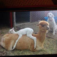 Alpacas and a dog