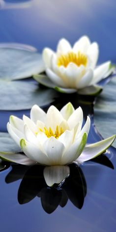 Flora white flowers close up bloom water lily 10802160 wallpaper Flowers Nature, Exotic Flowers, Amazing Flowers, Beautiful Flowers, White Lotus Flower, White Flowers, Lotus Flowers, Flora Flowers, Flowers Wallpaper