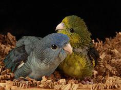 Lineolated parakeet babies