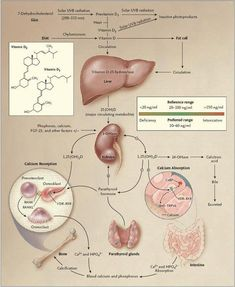 Synthesis and metabolism of vitamin D in the regulation of calcium, phosphorus, and bone metabolism Vitamins For Skin, Daily Vitamins, Vitamins And Minerals, Medical Science, Medical School, Medical Laboratory, Food Science, Life Science, Endocrine System