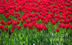 Canadian Geographic Photo Club - Field of Red & Green Green Art, Red Green, Tulip Fields, Complimentary Colors, Frame Display, The World's Greatest, Tulips, Fine Art America, Landscape