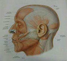 Prom. Músculos cara perfil