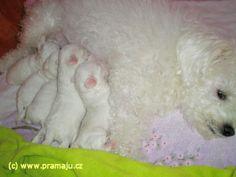 Cindy 12/2011a - Bichon Bolognese / Boloňský psík Bichon Bolognese, Dog Lady, Little Dogs, Animals, Little Puppies, Animales, Animaux, Animal, Animais
