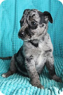 Allentown, PA - Catahoula Leopard Dog/Labrador Retriever Mix. Meet Zola, a puppy for adoption. http://www.adoptapet.com/pet/12561858-allentown-pennsylvania-catahoula-leopard-dog-mix