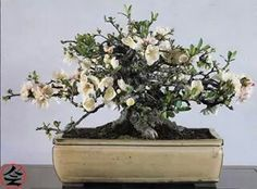 Chaenomeles Japonica, 26 years old