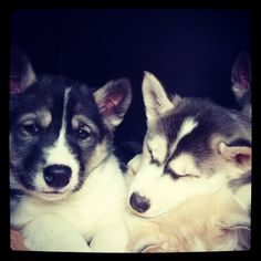 So cute siberian husky puppies!