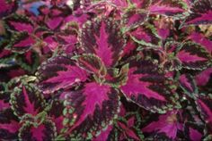 Coleus 'Violet Tricolor'. Colder regions grow outdoors as annual, warmer regions can be perennial, or use indoors.