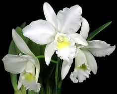 #Orchids - Cattleya Angel Bells 'Suzie' | Cattleya Angel Bells 'Suzie' … | Flickr http://dennisharper.lnf.com/