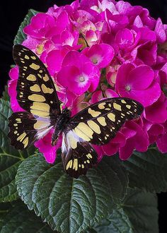 Butterfly on Hydrangea By Garry Gay