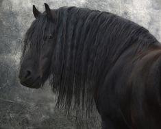 Frisian Stallion III - null