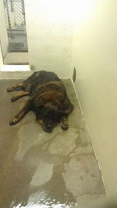 CARSON SHELTER LOS ANGELES, CA ANIMAL ID A4640989 9- year- old senior laying in a wet, cold cement cage..... please share!!!!!  https://www.facebook.com/photo.php?fbid=605464072850659&set=a.110893465641058.14366.110888922308179&type=1&relevant_count=1&ref=nf
