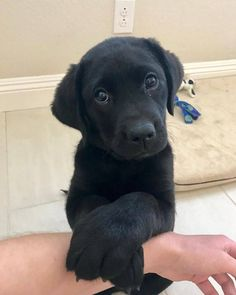 Mind Blowing Facts About Labrador Retrievers And Ideas. Amazing Facts About Labrador Retrievers And Ideas. Cute Labrador Puppies, Black Lab Puppies, Cute Dogs And Puppies, Doggies, Corgi Puppies, Labrador Retrievers, Retriever Puppies, Black Labrador Retriever, Golden Retriever