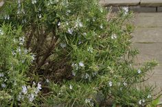 Rosemary firms and tightens skin.  Make a simple tonic of fresh sprigs in water. Leave in sunny windowsill . Apply liberally.