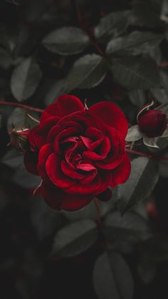 A Dozen Red Roses iPhone Wallpapers for Valentine's Day - Wallpaper World - iPhone - Android Wallpapers Rose Flower Wallpaper, Flower Backgrounds, Cool Backgrounds, Phone Backgrounds, Romantic Roses, Beautiful Roses, Wallpapers Rosa, Iphone Wallpapers, Motion Wallpapers