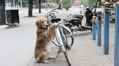 """Li Li is known as the """"Bike Hugging Dog"""" by locals in Nanning, China because of his habit of guarding his owner's bike and preventing it from being stolen."""