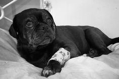 Brindle Pug, Teacup Pug, Pug Names, Pug Rescue, Pug Christmas, Pug Photos, Baby Pugs, Black Pug, Pug Puppies