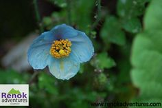 Blue poppy from the Valley Of Flowers Valley Of Flowers, Blue Poppy, Flora And Fauna, Trek, Poppies, National Parks, Adventure, Gallery, Plants
