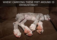 Annnnd the Best Angle Award goes to. Look at those hooves! Great Dane Rescue, Great Dane Dogs, I Love Dogs, Puppy Love, Baby Puppies, Cute Puppies, Cute Dogs, Dogs And Puppies, Doggies