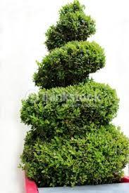 Výsledek obrázku pro topiary spirála