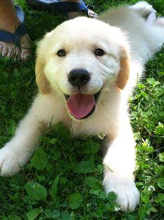 Wilbur the Golden Retriever Puppy