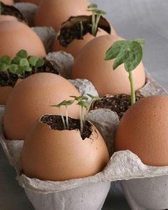#DIY Start #seedlings in an #egg shell and,when ready,plant the entire thing…