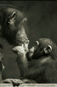 Adoration, I love and adore chimps, leave them in nature, not for pets or experimentation. Primates, Animals And Pets, Baby Animals, Funny Animals, Cute Animals, Beautiful Creatures, Animals Beautiful, Tier Fotos, Mundo Animal