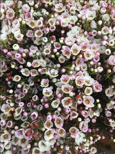 Waxflower - Moonlight Delight. Sold in bunches of 10 stems from the Flowermonger the wholesale floral home delivery service.