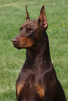 Red Doberman Gorgeous Looks Like Our First Dog