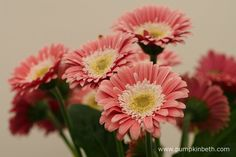 Gerbera GARVINEA SWEET MEMORIES ('Garmemories') (Garvinea Sweet Series). Gerbera GARVINEA SWEET MEMORIES is a new variety of hardy Gerbera, with baby pink, semi-double, daisy-like flowers, which are produced from spring, until the first frosts, every year.
