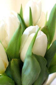 Tulips 101 - planting, growing & enjoying. Advice & tips on all you need to know about tulips from bulb to vase.