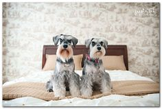 Schnauzers have my heart, yorkies too. Owned them both! by Leesiah Teh/ great photographer of rescue pet