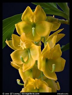 Cycnoches herenhusanum. A species orchid (color)
