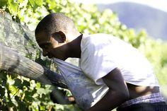 How to harvest chardonnay Wines, Harvest