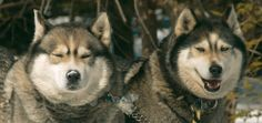 Lose the wheels for a ride with some lovable Siberian Huskies on the Artic Paws Dog Sled Tour at Skytop Lodge!