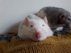My only good pictures of Wilbur are when he's asleep cuz he can't see OR hear me coming. #aww #cute #rat #cuterats #ratsofpinterest #cuddle #fluffy #animals #pets #bestfriend #ittssofluffy #boopthesnoot